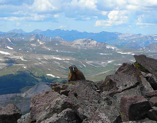 Yellow-bellied Marmot on Uncompahgre Peak